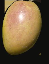 Picudo Olijf